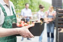 Tomato harvest in greenhouse — Stock Photo