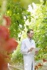 Scientist in greenhouse examining tomato plant — Stock Photo