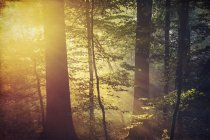 Deciduous forest and morning sun in autumn — Stock Photo