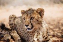 Ritratto ravvicinato del cucciolo di ghepardo di giorno, Namibia — Foto stock