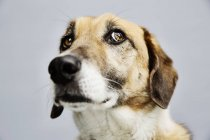 Portrait of a mongrel in front of grey background — Stock Photo