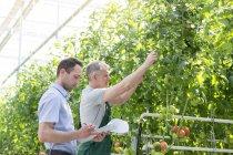 Hombre con portapapeles y trabajador en invernadero con tomates - foto de stock