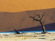 Espinho morto camelo de Namíbia, Parque Naukluft, deserto do Namibe, Otomys morto, na frente de Duna — Fotografia de Stock