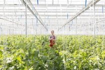 Young woman in greenhouse amidst tomato plants — Stock Photo