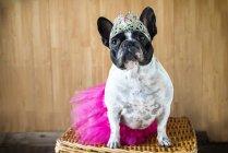 Вид на милый французский бульдог, одетый как принцесса — стоковое фото