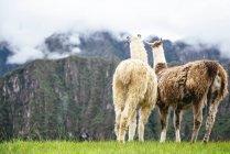 Перу, Мачу-Пикчу региона, два Лам, глядя на туманные горы — стоковое фото
