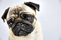 Close-up of pug looking at camera on white background — Stock Photo