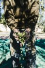 Senior man holding harvested olives — Stock Photo