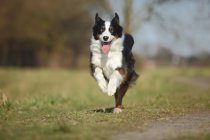 Running Australian Shepherd with tongue out on meadow — Stock Photo