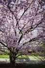 Fioritura albero di ciliegio giapponese in un parco — Foto stock