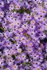 Purple Aster novi-belgii на открытом воздухе — стоковое фото