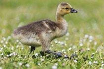 Pé jovem ganso do Canadá no Prado flor, Oregon, EUA — Fotografia de Stock