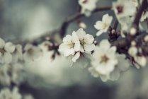 Primavera, flores blancas en ramita sobre fondo borroso - foto de stock