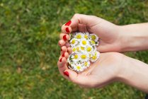 Woman's hands holding blossoms of daisies over green grass — Stock Photo