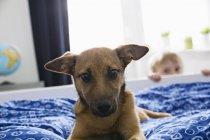 Портрет собаки лежащей на кровати с мальчиком на заднем плане — стоковое фото