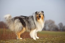 Latindo em pé Rough Collie Prado — Fotografia de Stock
