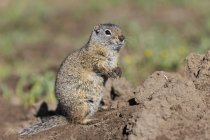 Daytime closeup view of Uinta ground squirrel — Stock Photo