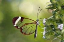 Glasswinged Schmetterling auf einer Wildpflanze — Stockfoto