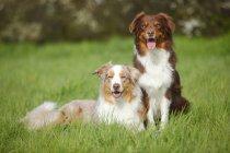 Две австралийские овчарки сидят на лугу — стоковое фото