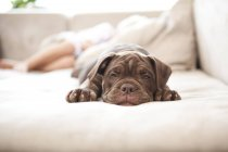Brown English Bulldog snoozing on the couch — Stock Photo