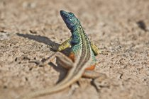 Blue headed lizard — Stock Photo