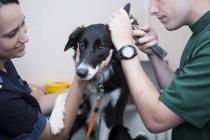 Vétérinaire et assistant regardant Border Collie oreille avec un otoscope — Photo de stock