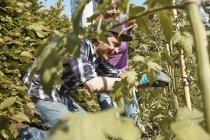 Coppie felici che lavora nel giardino alle piante di pomodoro — Foto stock
