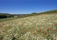 Austria, Lower Austria, Weinviertel, Falkenstein, View to Falkenstein Castle, flower meadow with poppies and marguerites — Stock Photo