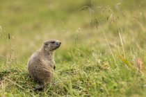 Marmot sobre hierba verde durante el día - foto de stock