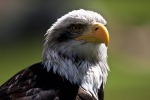 Bald eagle, Haliaeetus leucocephalus, portrait on blurred background — Stock Photo