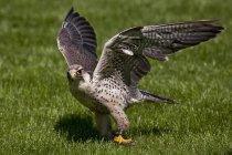Середземноморський сокіл, Falco biarmicus птах з крилами поширення на зеленій галявині — стокове фото