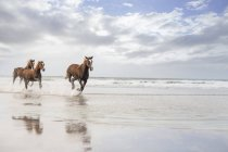 Marrons cavalos correndo em uma praia — Fotografia de Stock