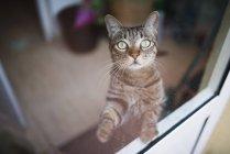 Gatto di Tabby che osserva in su attraverso una finestra — Foto stock