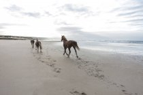 Brown horses running on a beach — Stock Photo