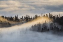 Germany, Saxony-Anhalt, Harz National Park, firs in heavy fog in the evening — Stock Photo