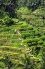 Indonesien, Bali, Ubud, Reisfeld in der Nähe von Tegalalang — Stockfoto
