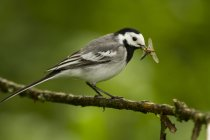 White wagtail, Motacilla alba, with dragonfly larva — Stock Photo