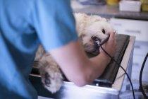 Veterinarian examining dog's teeth — Stock Photo