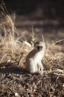 Botswana, Parc National de Chobe, vervet, assis dans la nature — Photo de stock