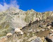 Австрия, Тироль, Эцтальского, стадо овец в дороги Gaislachkogel — стоковое фото