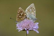 Dos copulantes mariposas azules de Chalkhill - foto de stock