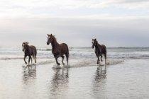 Коричневые лошади, работает на пляже — стоковое фото