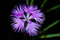 Garden-pink, primer plano sobre fondo oscuro - foto de stock