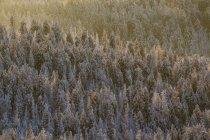 Германия, Саксония-Анхальт, Национальный парк Гарц, хвойный лес в вечерний свет — стоковое фото