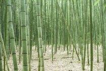 Japan, Arashiyama, Bambuswald tagsüber — Stockfoto