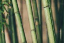 Close-up of naturalgreen bamboo trunks — Stock Photo