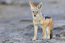 Namibia, Etosha National Park, Black-backed Jackal standing on sand — Stock Photo