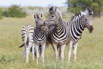 Familia de Parque Nacional de Etosha, Namibia de cebras de la llanura - foto de stock