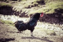Black crowing cock in sunshine — Stock Photo