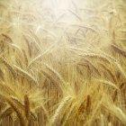 Close up of Barley field (Hordeum vulgare) — Stock Photo
